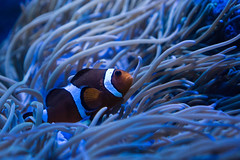 Clownfish (matthias.foto) Tags: natur nature tier animal sony alpha 6000 a6000 wild wildlife zoo germany deutschland color portait outdoor ilce mirrorless schn beauty beautiful light bokeh animals photo photography photos europe trip art park fish fisch clownfish blue blau meer ocean