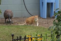 Ziggy Cat - Greeting 8-7-16 02 (anothertom) Tags: cats ziggycat yard meow spotted greeting hi sonyrx100ii