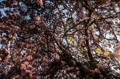 Wisteria (Giulia Maria Pontesilli) Tags: wisteria glicine flowers lilla