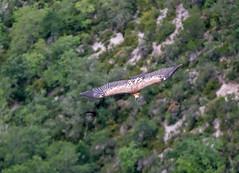 Schnappschuss Gnsegeier (hardi_630) Tags: routedescrtes verdon schlucht canyon gorge gorgeduverdon frankreich france provence geier gnsegeier gypsfulvus griffonvulture