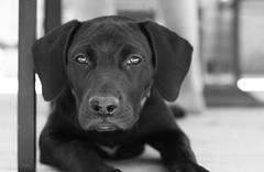Puppy (kraymer.) Tags: puppy dog blackandwhite labrador animal