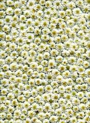 57547.01 Tanacetum parthenium 'Plenum' (horticultural art) Tags: hor tanacetumpartheniumplenum tanacetum matricaria flowers pattern white