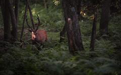 Encounter (mt.moco) Tags: sdq quattro sigma foveon nara japan deer morning summer forest
