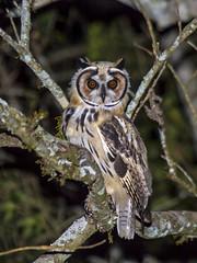 coruja-orelhuda  (Asio clamator) Striped Owl (claudio.marcio2) Tags: corujaorelhuda asioclamator stripedowl ave pssaro bird wildlife nature brazil natureza