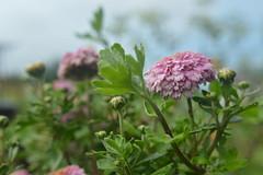 Ominous Mood (Alexandra Horvath) Tags: flower flowers nature summer nikon nikond3200 hungary garden outdoor plant
