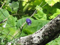 ValdezDayOne57 (alicia.garbelman) Tags: alaska valdez wildflowers monkshood