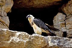 Gypate barbu (Diegojack) Tags: nikon nikonpassion d7200 garenne levaud parc animalier oiseaux rapaces gypates barbus