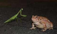 DSC_4241 (tintyper) Tags: toad prayingmantis praying night