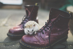 @coyotelick // www.ryanleeturton.co.uk (RYANLEETURTON.) Tags: coyote lick ryan lee turton animals pets yorkshire pet photography hedgehog african pygmy dr martens doc oxblood exotic cute boots skinheads skinhead skins punk hedgie