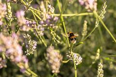 Lavender & Bees-2942.jpg (Mr Green Light) Tags: unitedkindom bokeh home lavender bees andycash flowers 2016 outdoor landscape field plant