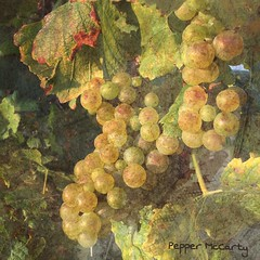 Harvest of the grapes. This picture was taken with, and processed on, my phone, using #stackablesapp (peppermcc) Tags: stackablesapp
