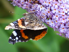 x P2530315c Red Admiral on Purple Buddleia . .. . . (Erniebobble *~* HappyHolyWeek2018! *~*) Tags: erniebobble 2016 nature newforest wildlifegarden wildlife butterfly wings lepidotera bct colours edge education study portrait textural shape summer suspended feeding green environment ecosystem biodiversity balance harmonious peaceful gentle restful tranquil transient fleeting metamorphosis climate endangered pollination nectar secretworld painting pattern surface art above weather ephemeral biomarkers changing chrispackham garden transition