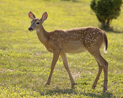 DSC_1568 (Angel Cher ) Tags: fawn whitetailed deer