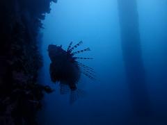 Safari Bali - diving 2016 (Valerie Hukalo) Tags: lionfish rascasse padangbai bali asie asia indonsie indonesia hukalo safaribali patrickhukalo underwaterphotography photographiesousmarine plonge diving ocanindien indianocean candidasa