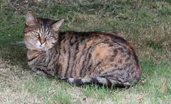 Honey in the garden (7d) (madmax557) Tags: honey mycat cat cats animals animal ea