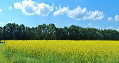 Field of Canola (Garry9600) Tags: lumix fz200 saskatoon saskatchewan canada cans2s field summer canola outdoor panorama stitchedpanorama