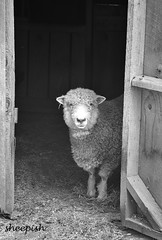 Sheepish (dorameulman) Tags: flickr dorameulman sheep monochrome blackandwhite landscape farm gastonia northcarolina canon