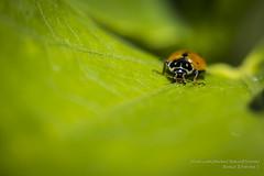 856-1 Macro insectes coccinelles 13.08.2016 (RenzoElvironi) Tags: macro coccinelle coccinelles insectes insects insetti ladybugs peschici puglia italie