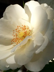 No roses without thorns... (Kariga1) Tags: dorn weis thorns rose white