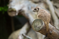 Meerkat (Cloudtail the Snow Leopard) Tags: erdmnnchen zoo basel tier animal mammal sugetier meerkat manguste scharrtier suricata suricatta