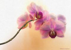 Orchidaceae.jpg (Patrik Gustafsson) Tags: orchid flower