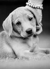 'Rosie & Ann' (Jonathan Casey) Tags: puppy chocolate lab labrador nikon d810 200mm f2 vr