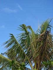 Coconut (Cocos nucifera): Boron deficiency, mild (Scot Nelson) Tags: coconut cocosnucifera boron deficiency b