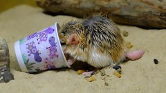 Fat-tailed Gerbil (magicnature) Tags: fattailed gerbil