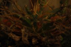 Principis_5240 (Omar Omar) Tags: playingwith50mm playingwith50millimeters jugandocon50mm juagandocon50milimetros joueravec50mm leuchtenbergiaprincipis prismcactus nikond40 cacatus cactacea plant planta