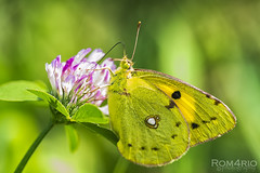 Butterfly (Rom4rio Photography) Tags: nikon nikond3100 nikkor natura nature d3100 butterfly farfalla fluture macro micro allaperto insetto color verde bokeh paesaggio campo giallo green outdoor amatore amator amateur cmp
