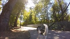 follow Blanca on Day Island (Claudia Knkel) Tags: eugene oregon dayisland blanca dog gopro hero3 park willametteriver silveredition altonbakerpark