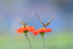 V V (myu-myu) Tags: nature insect butterfly swallowtail papilioxuthus zinnia nikon d500      japan