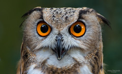 If looks could kill (Zaphod Beeblebrox 1970) Tags: augen eule raubvogel uhu bird eagleowl eyes fixieren fixing owl portrait raptor