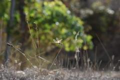 Sympetrum fonscolombii (esta_ahi) Tags: bellestar santamargaridaielsmonjos barcelona spain espaa  liblula libllula dragonfly sympetrumfonscolombii sympetrum fonscolombii anisoptera odonata insectos fauna