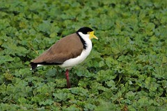 Plover (Chocolate Mouse NZ) Tags: spur wing plover bird new zealand nature masked lapwing