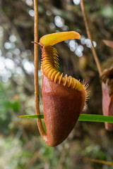 Nepenthes villosa (Boazng) Tags: nepenthes pticher plant carnivorous mt kinabalu villosa