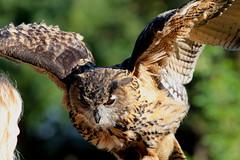 At your command...   [ In Explore ] (carlo612001) Tags: owl eagleowl oasidisantalessio falconry falconeria guforeale gufo