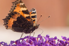 Butterfly Feeding (ian.berridge1) Tags: orange extensiontubes closeup nature