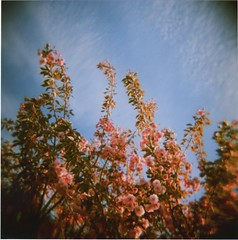 the tree is bare now (lydiafairy) Tags: pink film analog square cherry holga spring lomo blossoms toycamera ishootfilm plasticcamera