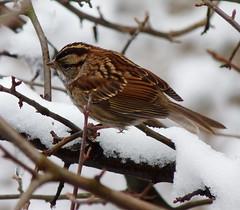White-throated Sparrow (Dendroica cerulea) Tags: autumn snow bird garden newjersey nj aves sparrow highlandpark whitethroatedsparrow zonotrichiaalbicollis emberizidae passeriformes middlesexcounty