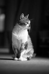 Monochrome Miyako (Takashi(aes256)) Tags: bw monochrome animal cat  miyako      nikond4 nikonafsnikkor70200mmf28gedvrii