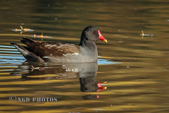 Moorhen (Nigel Dell) Tags: autumn birds flickr seasons wildlife places hampshire stillwater moorhen ngdphotos