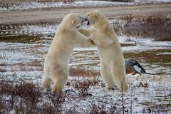 Wild Polar Bears in Churchill (virtualwayfarer) Tags: wild snow canada nature canadian manitoba polarbear churchill hudsonbay naturephotography adventuretravel wildlifephotography wapusknationalpark alexberger frontiersnorth virtualwayfarer polarbearweek polarbearcombat