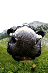 Cow Nose (CoolMcFlash) Tags: mountain alps nature grass animal closeup canon mouth outside nose eos austria kuh cow tirol sterreich big focus kiss funny pov details natur perspective wiese sigma ears wideangle fisheye berge whiskers pointofview smell lustig alm gras sniff nah alpen hayfield grassland nase tyrol nahaufnahme tier perspektive gros mund kuss maurach ohren fokus 10mm weitwinkel schnurrhaare nares blickwinkel fischauge riechen nasenlcher drausen 60d