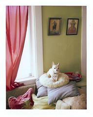 chihuahua in the afternoon (EllenJo) Tags: november dog pet chihuahua polaroid handsome pillows livingroom couch floyd 2012 redcurtain age9 doggyinthewindow fujifp100c thelittledoglaughed ellenjo ellenjoroberts bornin2003 polaroidpathfinder rollfilmcameraconvertedtopackfilm convertedpathfinder