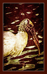 Homely Serenity (Chris C. Crowley) Tags: lake bird animal wildlife feathers stork woodstork chriscrowley reedcanalpark celticsong22 southdaytonaflorida homelyserenity