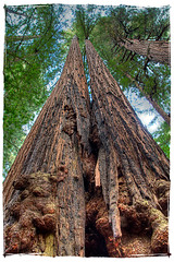 Pour some sugar on me (spettacolopuro) Tags: park family vacation brown tree green nature beautiful canon amazing interesting flora photographer grow national photograph stunning tall canopy sequoia hdr ecosystem sempervirens captivating andrearossi 40d miur sempreverdi spettacolopuro