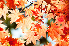 red yellow fall maple leafs illuminated by sun natural background (Maxim Tupikov) Tags: park blue autumn light red wallpaper sky orange sun sunlight plant canada abstract color tree fall texture nature beautiful beauty yellow closeup forest scarlet season gold golden leaf maple bush colorful branch pattern view natural russia outdoor vibrant background south seasonal scene korea illuminated foliage changing through lush russian autumnal