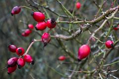Rosehips (Will Vale) Tags: castricum rx100 noordhollandsduinreservaat