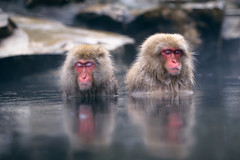 Nakama (www.jasonarney.com) Tags: reflection japan relax monkey wildlife  onsen nagano saru hotsprings  snowmonkey   japanesemacaque yudanaka  snowmonkeys    jigokudanipark